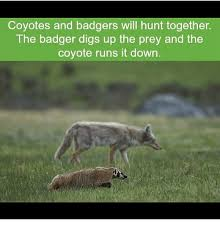 Badger Memes - coyotes and badgers will hunt together the badger digs up the prey
