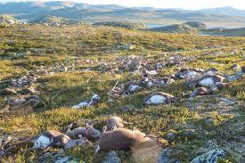 Lightning Strike Map Freak Lightning Strike Kills Hundreds Of Reindeer In Norway Nbc News