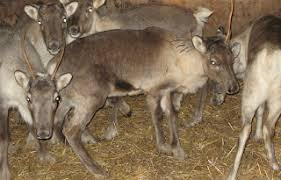 animal hire reindeer hire camel hire hire