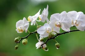 White Orchid Flower Beautiful Flowers White Flowering Plants Plants With White Flowers