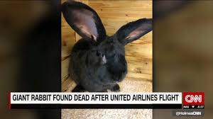 United Oversize Baggage by Pilot The Mystery Of United U0027s Dead Giant Rabbit Cnn