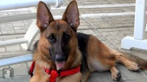 belgian shepherd south africa overbred and abandoned taiwanese german shepherd finds a home in