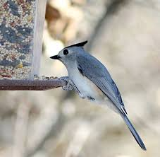 Nj Backyard Birds by Tufted Titmouse Identification All About Birds Cornell Lab Of