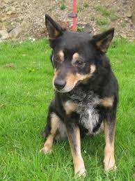 australian shepherd x kelpie foster u2013 4 5 year old male collie cross german shepherd dog for