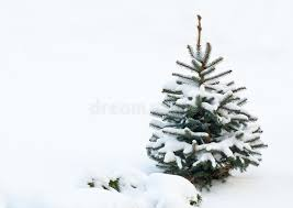 small fir tree covered with snow stock image image of snowdrift