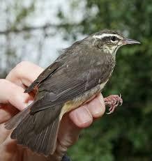 Louisiana birds images Baton rouge audubon society jpg