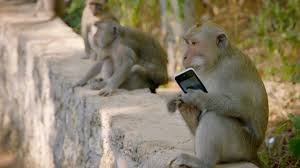 why are these monkeys stealing from tourists world u0027s sneakiest