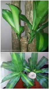 plant of the month dracaena fragrans corn plant fortune plant