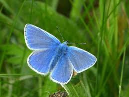common blue polyommatus icarus 0 butterflies