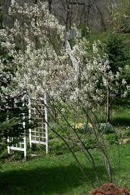 what s blooming in my garden this week serviceberry tree white
