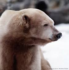 grizzly polar bear hybrids spotted in canadian arctic sciencenordic