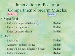 Innervation Of Infraspinatus The Upper Extremity Arm Muscles Axilla Brachial Plexus Ppt