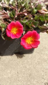 cottage garden flowers 12 best portulaca images on pinterest portulaca flowers cottage