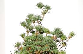 white pine tree pine trees information on a japanese variety