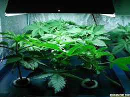 aardvark u0027s new grow 12 hybrid dutch strains seed sog tent 600w