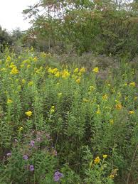 native plants of new england tall goldenrod