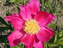 Peony Flower Types Of Peony Flowers