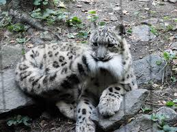 snow leopards love nomming on their fluffy tails 12 pics bored