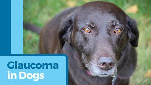 Blind Dog Eye Discharge Dog Glaucoma Symptoms Glaucoma Treatments For Dogs Petmd