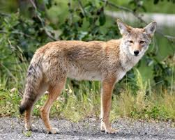 Georgia wildlife images Georgia wildlife managers pushing for more coyote hunting all on jpeg