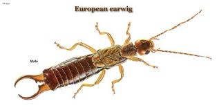 european earwigs and their control united exterminating company