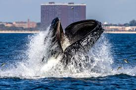 yes you can go whale watching in the rockaways new york post