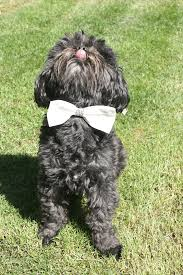 affenpinscher good bad pet stories archives petplus blog