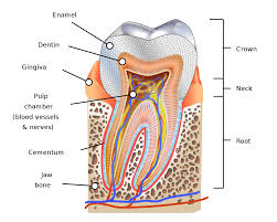 Wheeler S Dental Anatomy Physiology And Occlusion Human Tooth Wikipedia