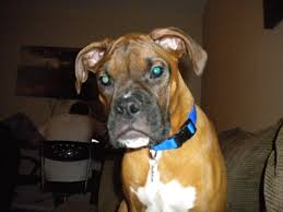 boxer dog quebec squnity eyes and small head boxer forum boxer breed dog forums