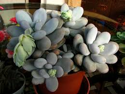 succulent facts pachyphytum oviferum moonstones world of succulents
