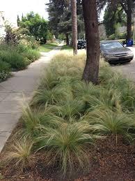 inventive drought tolerant parkways larchmont buzz hancock