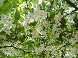 69 best ornamental trees for zone 4 5 images on
