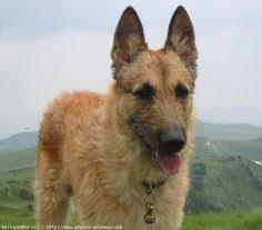 belgian shepherd herding laekenois akc foundation stock service pinterest photos and in