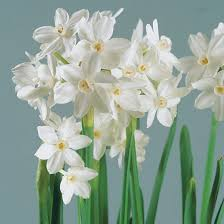 paperwhite flowers ziva paperwhite narcissus finegardening