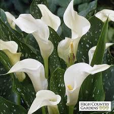 calla lilly calla albomaculata florist s calla zantedeschia