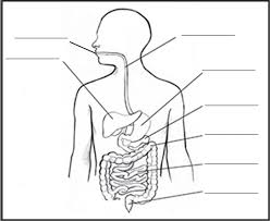 Blank Body Map Template by Outline Diagram Of The Digestive System Diagram Gallery Wiring