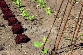 allotment vegetable garden runner beans bamboo canes lollo ro