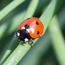ladybug on blade of grass picture free photograph photos