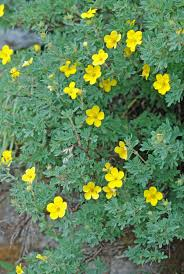 montana native plants shrubby cinquefoil dasiphora potentilla fruticosa blackfoot