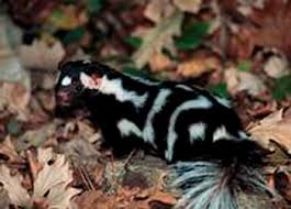 eastern spotted skunk the animal files
