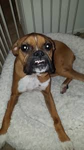 10 boxer dog facts one year old boxer with a lump under her throat u2013 iheartdogs com