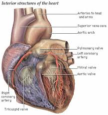 Anatomy Of Heart Valve Heart Anatomy Page 20
