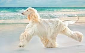 afghan hound coat colors afghan hound dog breed information and images k9rl