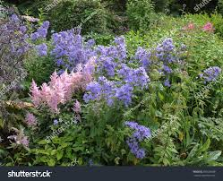 traditional english cottage garden flowerbed astilbe stock photo