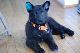 belgian shepherd ottawa what clients say the possible canine