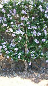 Patio Tree Roses by Top 25 Best Rose Of Sharon Ideas On Pinterest Hummingbird Cafe