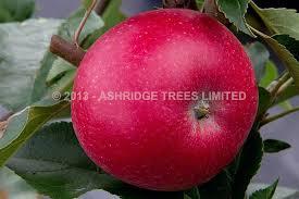 rosette apple trees buy ashridge nurseries