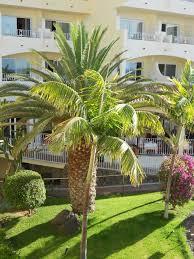 palme f r balkon palme unter unserem balkon sehr gepflegt sentido buganvilla