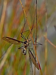 leptotarsus sp a crane fly at bournda national park atlas of