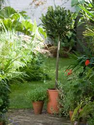 Laurel Topiary - creating a standard bay tree hgtv